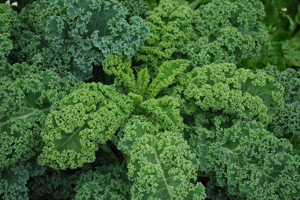 curly-kale-feature